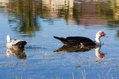 Anatre di Muscovy che nuotano Fotografia Stock Libera da Diritti