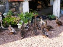 Anatre di visita in giardino Anvin Francia Fotografie Stock Libere da Diritti