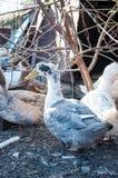 Anatre domestiche blu e bianche Immagine Stock