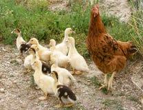Anatre e gallina del bambino Immagini Stock
