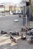 Anatre e gooses nell'pollame-iarda del villaggio Immagine Stock Libera da Diritti