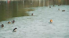 Anatre e maschi su un ghiaccio in mezzo allo stagno archivi video