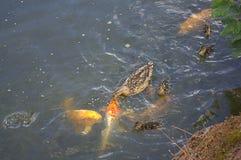 Anatre e pesci Fotografia Stock Libera da Diritti
