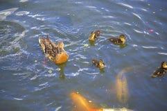 Anatre e pesci Fotografie Stock Libere da Diritti