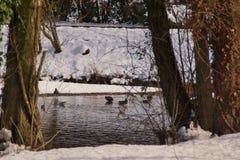 Anatre e una foresta con una certa neve Fotografie Stock