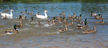 Anatre ed oche che nuotano velocemente Immagini Stock Libere da Diritti
