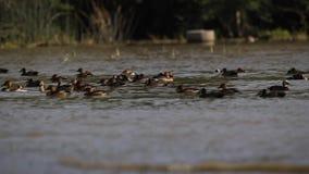 Anatre ed oche sul lago stock footage