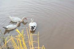 Anatre in fauna selvatica Le anatre nuota in lago o in fiume nell'ambito di luce solare Immagine Stock Libera da Diritti