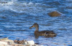 Anatre femminili di Mallard che nuotano nel fiume di Roanoke fotografia stock