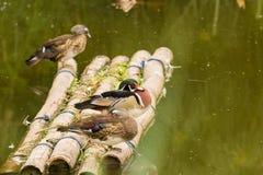 Anatre in lago Fotografie Stock