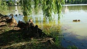 Anatre & lago Immagine Stock