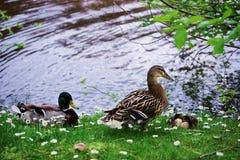 Anatre in Minnewaterpark e nel lago Minnewater di Bruges Immagine Stock Libera da Diritti