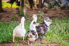 Anatre mute domestiche nell'agricoltura aperta L'anatra muta (Ca Fotografie Stock Libere da Diritti