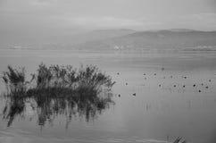 Anatre negli uccelli del lago al bianco e nero del cielo Fotografia Stock Libera da Diritti