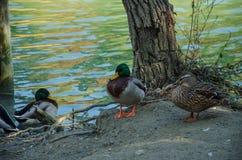 Anatre nel lago Fotografie Stock
