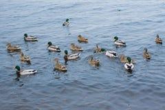 Anatre nel lago in attesa dell'alimentazione Fotografia Stock Libera da Diritti