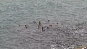 Anatre nel mare stock footage