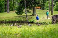 Anatre nel parco in Gulbene, Lettonia Immagini Stock