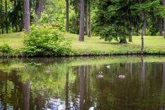 Anatre nel parco in Gulbene, Lettonia Fotografia Stock Libera da Diritti