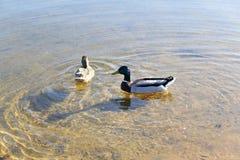 Anatre nell'acqua in lago Fotografia Stock Libera da Diritti