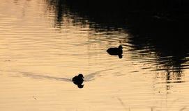 Anatre nell'acqua un giorno di inverno Immagine Stock