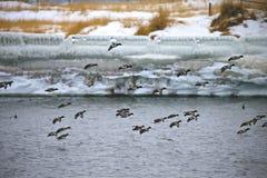 Anatre nell'inverno Fotografia Stock Libera da Diritti