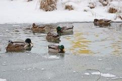Anatre nell'inverno Fotografia Stock