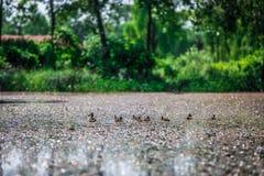 Anatre nello stagno con il fondo verde della natura ed in lago con l'stagno-erbaccia fotografie stock libere da diritti