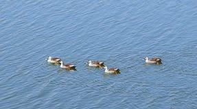 Anatre Punto-fatturate nel lago Randarda, Rajkot, India Fotografia Stock Libera da Diritti