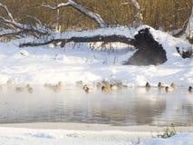 Anatre selvatiche Fotografia Stock