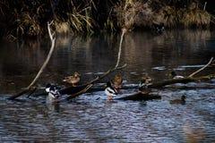 Anatre selvatiche che nuotano Immagini Stock