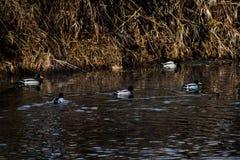 Anatre selvatiche che nuotano Fotografia Stock