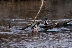 Anatre selvatiche che nuotano Fotografie Stock