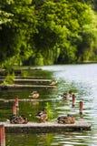 Anatre selvatiche che riposano sulla riva Immagini Stock Libere da Diritti