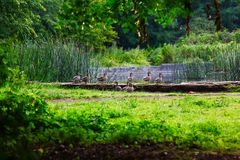 anatre selvatiche in erba Fotografia Stock