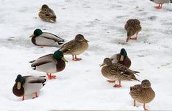 Anatre selvatiche in inverno Immagini Stock Libere da Diritti