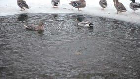 Anatre selvatiche nel fiume di inverno stock footage