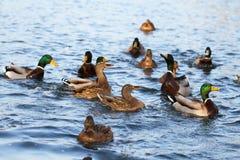 Anatre selvatiche nel lago Immagine Stock Libera da Diritti