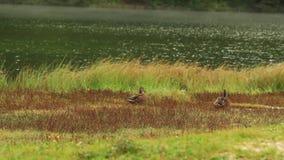 Anatre selvatiche nel lago Misurina, montagne della dolomia stock footage