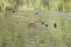 Anatre selvatiche nel parco nel tempo di primavera Anatra di Mallard in natura nel lago Foto di copertura con le anatre Nuoto del Fotografie Stock Libere da Diritti
