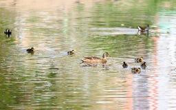 Anatre selvatiche nel parco nel tempo di primavera Anatra di Mallard in natura nel lago Foto di copertura con le anatre Nuoto del Fotografie Stock