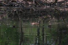Anatre selvatiche nel parco nel tempo di primavera Anatra di Mallard in natura nel lago Foto di copertura con le anatre Nuoto del Immagini Stock Libere da Diritti