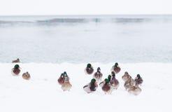 Anatre selvatiche nella tempesta della neve Fotografia Stock