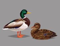 Anatre selvatiche realistiche degli uccelli su un fondo grigio Immagine Stock