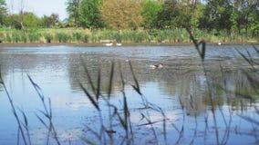 Anatre selvatiche su un lago stock footage