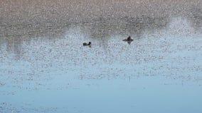 Anatre selvatiche su un lago