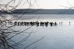 Anatre selvatiche sul ghiaccio sul lago Uno stormo delle anatre su ghiaccio in Th Fotografia Stock Libera da Diritti
