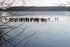 Anatre selvatiche sul ghiaccio sul lago Uno stormo delle anatre su ghiaccio in Th Fotografia Stock
