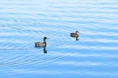 Anatre selvatiche sul lago Fotografia Stock Libera da Diritti