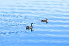 Anatre selvatiche sul lago Fotografia Stock